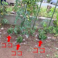まだ収穫は少ないですが、家庭菜園は順調です(^。^)