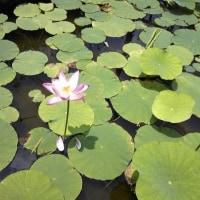 6月23日 千葉市花園公民館の大賀ハス開花状況