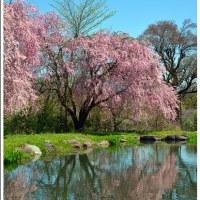 「箱島湧水」入口近くで咲く しだれ桜  (2の1)  ★ 2017.05.01 ★
