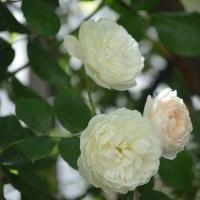 香りのバラ達
