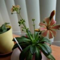 レウィシアが咲きました