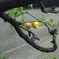 梅の実熟す