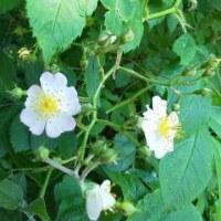 雑木林の白い花