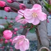 2017 庭の桜