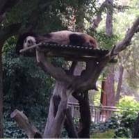 気分転換に、人間より信用できるパンダ、マドリード。