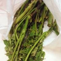 山菜取り・・・毎年安定して美味しく頂くコツは(^_^)/フキ・たけのこ・山ウド