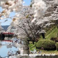 遅い春に桜が