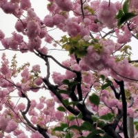今年の桜画像も終りだろう