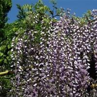 「今日の日記、拝島大師のそばの藤の花の写真を撮りに行く」