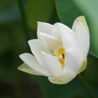 三室戸寺 紫陽花と蓮の花 その2