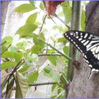 11月20日のアゲハチョウ