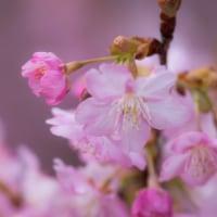 河津桜咲きました 2