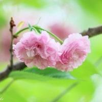イイとこ撮りの「ぽんぽん桜」