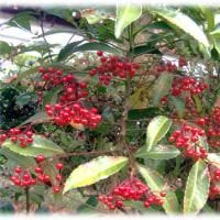 今日から12月「師走(しわす)」(^^♪赤い実をつける正月用の縁起木は「マンリョウ(万両)」