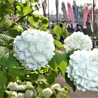 Carp Streamers & the hydrangea in the Spring Wind