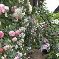 今年(2017年)の バラ庭遊び日にて🎶