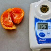 食べてる早生ミカン 甘さが違うので糖度計で測ってみた 何と・・・