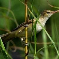 今日の鳥見:オオヨシキリ