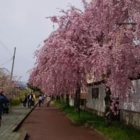日中線しだれ桜遊歩道