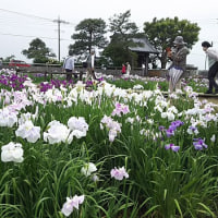 菖蒲ラベンダー 菖蒲園