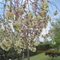 八重桜の名所へお花見に行って来ました。
