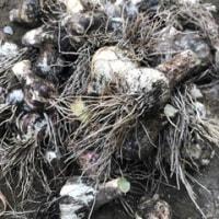 蕎麦処ないとう ニンニク収穫