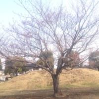 富塚公園 の さくら開花