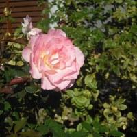 蕾が咲いてくれるかな バラの「ブライダルピンク」