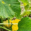 おじんでいのぉ畑 ミニカボチャ プッチィーニ収穫した