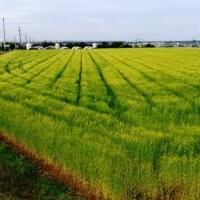 2017年5月5日:〈津屋崎の四季〉1174:麦畑の景観