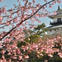 柳は芽吹き かけがわ桜は満開でした