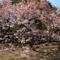 新宿御苑に春を探して