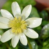 ヒメリュウキンカ(1)~白花種
