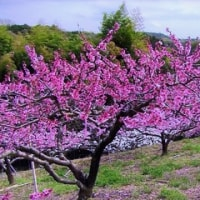 蕎麦処ないとう 桃の花
