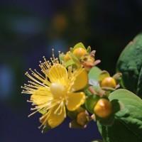 ●我が家の5月の花(10)ヒペリカム・アンドロサエマムが開花 薔薇を切って生けました。