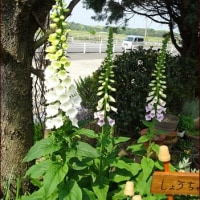 咲いた咲いた<今朝の庭5/1>