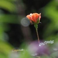 秋薔薇が咲いた