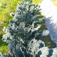 房なりブロッコリーの収穫