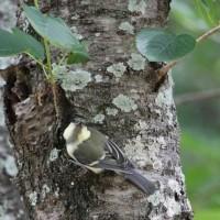 シジュウカラの幼鳥たち