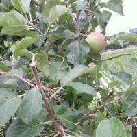 りんごの一年