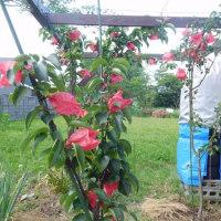 梨の苗木を植付(袋掛) 2017/4&5追記・2013/12搭載