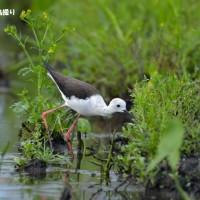 今日の野鳥・・・セイタカシギ 【その3】・・・もう一度。。