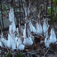 庭にできたシモバシラの氷結