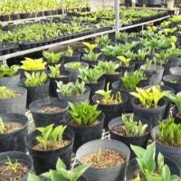 150種類以上のギボウシが元気に育っています。