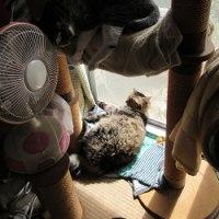 新入り猫お迎え 大猫様がやってきた -先住猫の妥協(?)