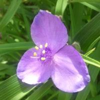 2474号Традесканции(紫露草)