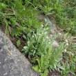 唐松岳の周辺の植物:タカネヤハズハハコ