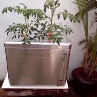 トマトの成長記録