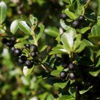 ハイイヌツゲ の黒い実は豊作