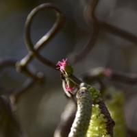 セイヨウハシバミの雌花